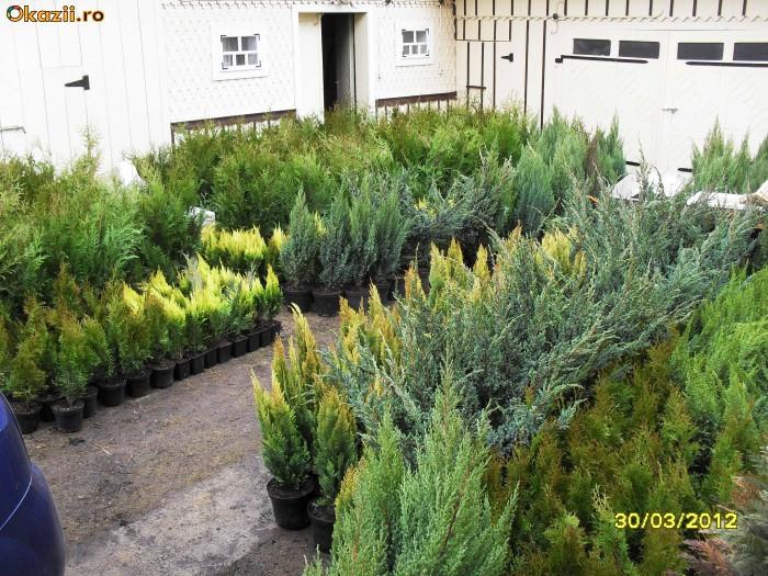 Dieffenbachia planta de camera