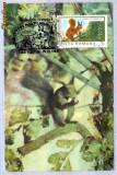 Ilustrata maxima veverita