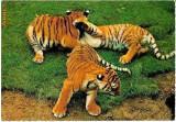 V FOTO 100 Trei pui de tigru -tipar Kruger