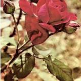 CP208-18 Trandafir -marca fixa -carte postala scrisa, dar necirculata -starea care se vede