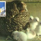 Ilustrata maxima, fauna, pui de gaina - Timbre Romania