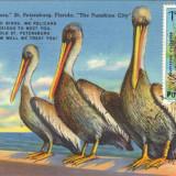 Ilustrata maxima fauna (pasari) pelican