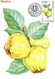 Maxima Gutui (Cydonia oblonga)