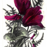 Carte postala ilustrata - flora - Cyclam