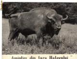 Carte postala Ilustrata fauna - zimbru