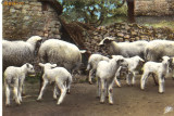 Carte postala ilustrata FAUNA -  Animale domestice - oi