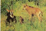 Carte postala ilustrata FAUNA -  Animale salbatice - ierbivore - antilopa neagra (hippotrague nigger)