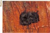 Carte postala ilustrata FAUNA -  Animale salbatice - insectivore - liliac (Myotis daubentonii )