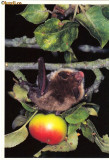 Carte postala ilustrata FAUNA -  Animale salbatice - insectivore - liliac (Myotis bchsteinii )