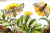 Carte postala ilustrata Fauna - fluturi - grammia quenselli
