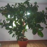 Ficus SUNT SANATOS SI VREAU SA TRAIESC