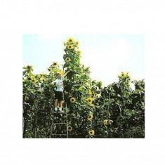 SEMINTE FLOAREA SOARELUI ZGARIE -NORI - 4M PLUS - Seminte de floarea soarelui