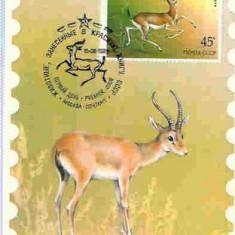 Ilustrata maxima Fauna - antilopa