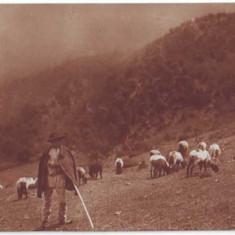 75 - Port Popular - cioban cu turma sa - old postcard - used - 1930