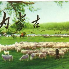 Carte postala ilustrata FAUNA - Animale domestice - oi la pascut in Mongolia - Carte postala tematica