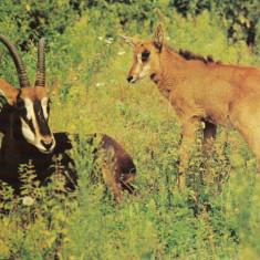 Carte postala ilustrata FAUNA - Animale salbatice - ierbivore - antilopa neagra (hippotrague nigger) - Carte postala tematica