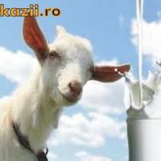 Vand lapte si branza de capra 100% ecologic - Lactate
