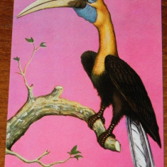 Carte postala ilustrata Fauna - Pasari - Muzeul de istorie naturala Grigore Antipa - Pasare-rinocer Insula Noua Guinee - Carte postala tematica