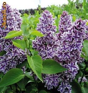 Arbusti ornamentali liliac syringa sensation arhiva for Arbusti ornamentali