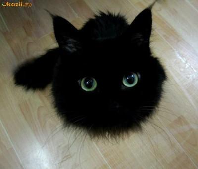 pisica ANGORA TURCEASCA NEAGRA superba | arhiva Okazii ro