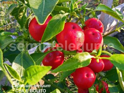 Seminte ardei iute - CHILE BOLITO - 30+ seminte/pachet foto