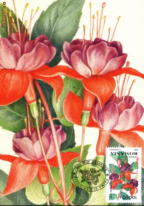 Maxima flori Cercelus (Fuchsia hybrida Hort)