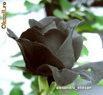 Seminte de trandafir, culoare NEGRU foto mare