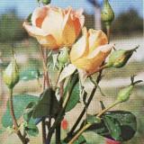 Carte postala flori -Trandafiri