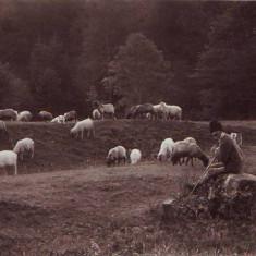 331 Port Popular Roman Cioban cu oi Necirculata