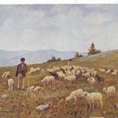 407 Port Popular Roman Pict Basarab Cioban cu oi Circulata