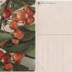 Fructe-carte postala 10-cirese-pomicultura