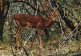Ilustrata animale 21