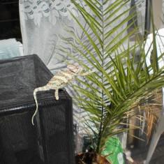 Cameleon cu creasta (veiled chameleon)