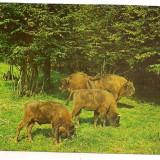 Carte postala(ilustrata)-HATEG-Rezervatia de zimbrii, Circulata, Printata, Europa