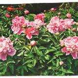 Carte postala-Flori-GAROAFE, Necirculata, Printata