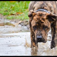 Vand Caine Presa Dogo Canario pedigree - Caini
