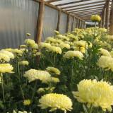 vand flori crizanteme la fir din productie proprie  Pret:1 leu firul