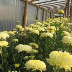 Vand flori crizanteme la fir din productie proprie Pret:1 leu firul, Albe