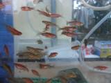 Vand pesti acvariu,ZEBRE (rosii si albastre)