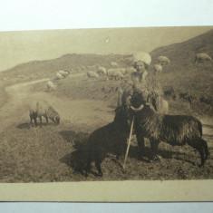 CIOBAN CU TURMA DE OI - CARTE POSTALA ILUSTRATA - SEPIA - FOTOGRAVURA