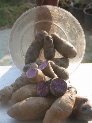 Cartofi mov de samanta si consum foto