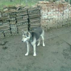 VAnd husky siberian   varsta  9 luni