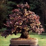 Seminte de dracila (Berberis thunbergii var. atropurpurea Chenault) (10 seminte)
