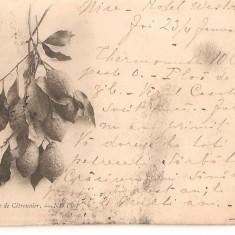 CPI (B2478) FRANTA, BRANCHE DE CITRONIER, CARTE POSTALA DIN 8. IAN.1900, STAMPILE, Europa, Circulata, Printata