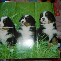 Poster/afis/plansa model cu catei/caini pentru copii, colectionari, cadre didactice