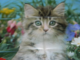Poster/afis/plansa model, de dimensiuni mari, cu pisica, pentru colectionari sau copii