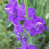 Seminte de Nemtisor de camp (Consolida orientalis) (60 seminte)