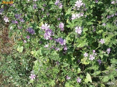 Seminte de Nalba de padure (Malva sylvestris) (20 seminte) foto