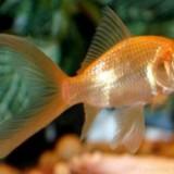 Pesti de acvariu - Carasi aurii