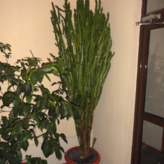 Cactus Euphorbia ( inaltime peste 2.5 metri )